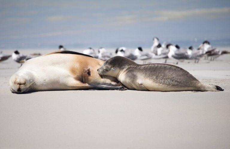 Australian Sea-lions at Seal Bay, Kangaroo Island - Exceptional Kangaroo Island Tours