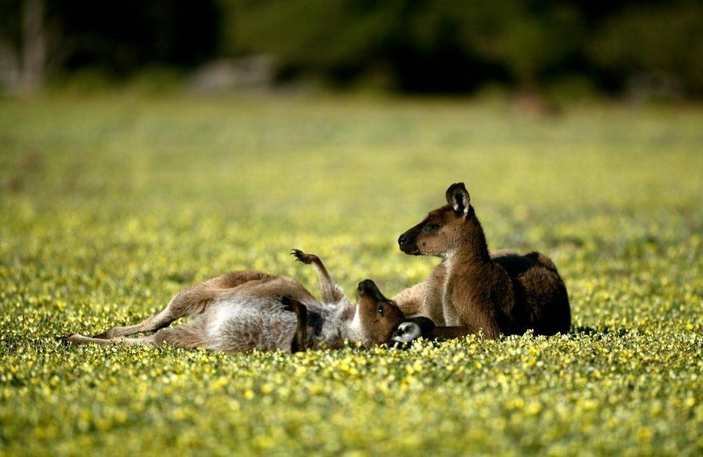 Kangaroo Island Kangaroos. Exceptional Kangaroo Island Tours.