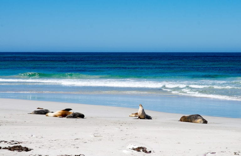 Australian Sea-lions at Seal Bay. Exceptional Kangaroo Island Tours.