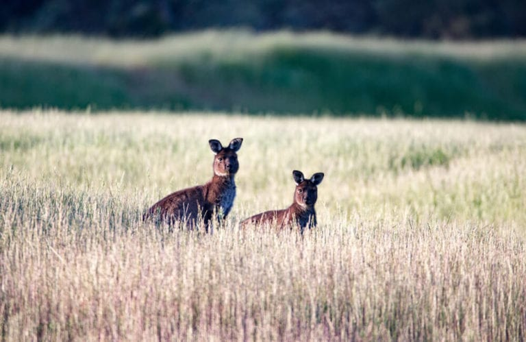 Kangaroos in tall grass - Kangaroo Island
