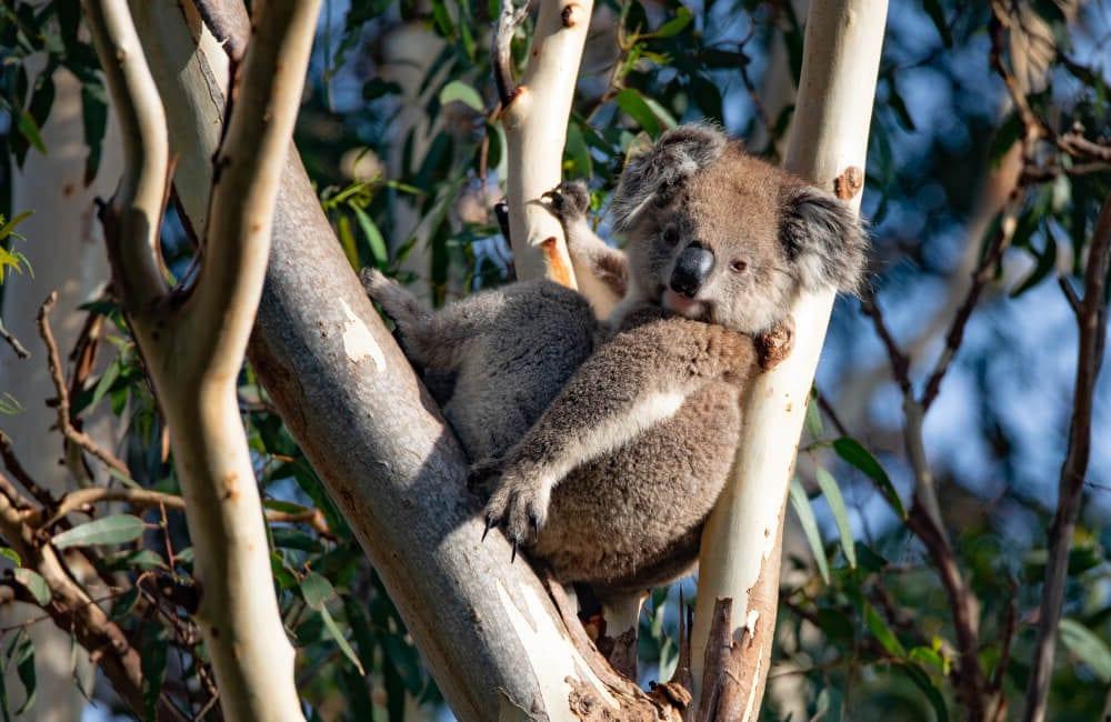 Koala on Kangaroo Island with Exceptional Kangaroo Island tours