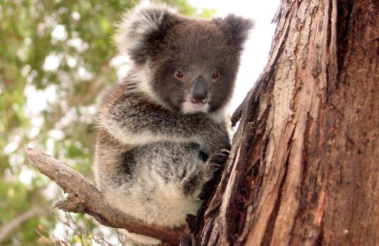 Koala Joey. Exceptional Kangaroo Island Tours.